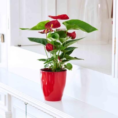 Hallmark Flowers - Happy Hearts Anthurium